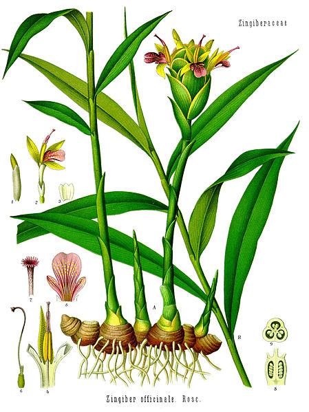 449px-Zingiber_officinale_-_Köhler–s_Medizinal-Pflanzen-146